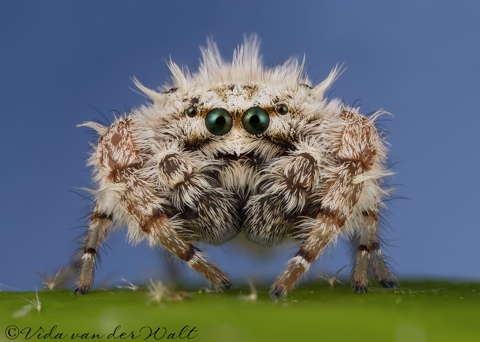 http://jumpingspiders.co.za/images/main/182.jpg